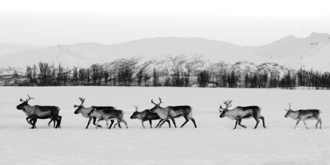 Reindeer by Dawna Mueller Photography